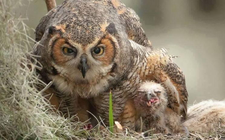 Protective mommy owl