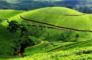 Tea Estate in Kodaikanal